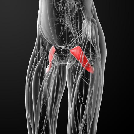 anterior: medical  illustration of the pectineus