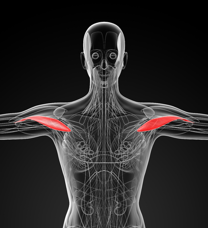deltoid: medical  illustration of the Deltoid