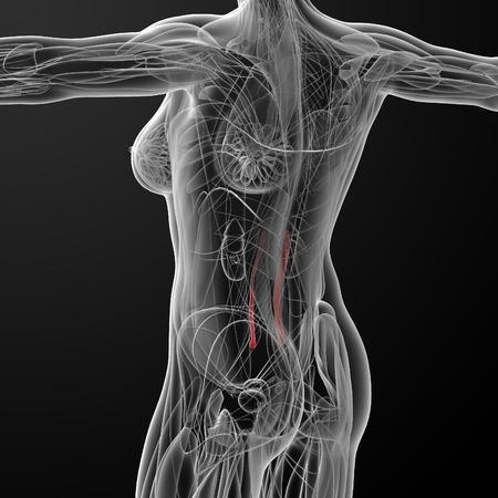 to minor: medical  illustration of the psoas minor