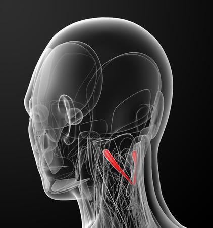 rectus: medical  illustration of the rectus capitis posterior major Stock Photo