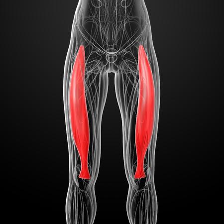 rectus: medical  illustration of the rectus femoris