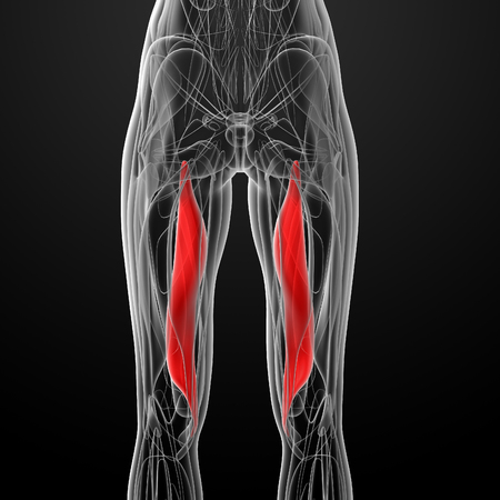 back of leg: medical  illustration of the semimembranosus Stock Photo