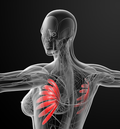 anterior: medical  illustration of the serratus anterior