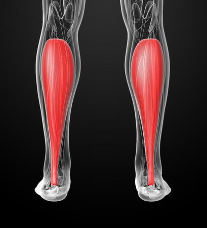 soleus: medical  illustration of the soleus Stock Photo