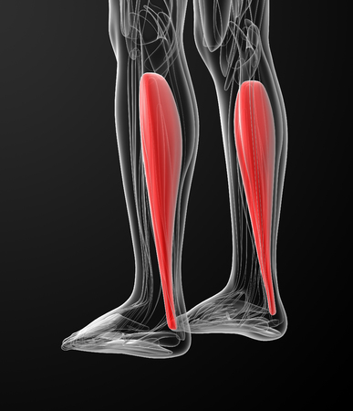 back of leg: medical  illustration of the soleus Stock Photo