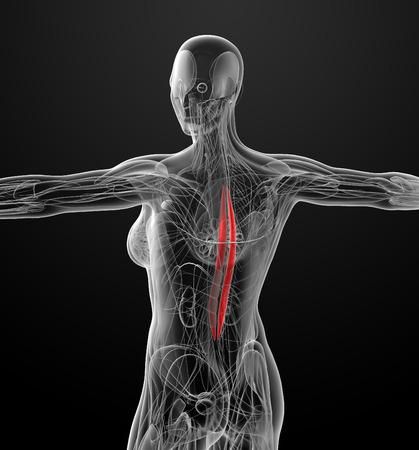 dorsi: medical  illustration of the Spinalis Dorsi
