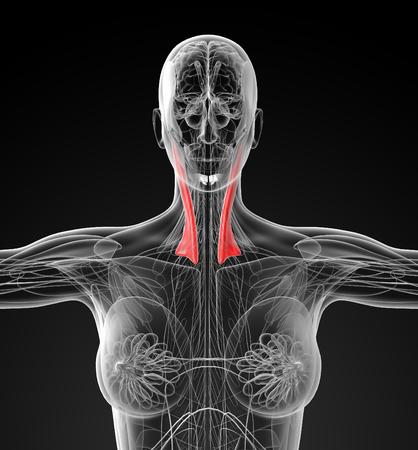 atrial: medical  illustration of the sternocleidomastoideus