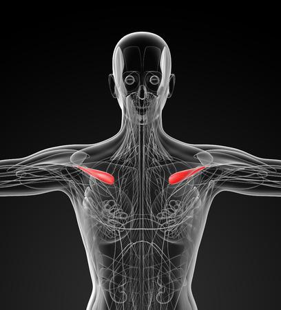 biomedical: medical  illustration of the supraspinatus