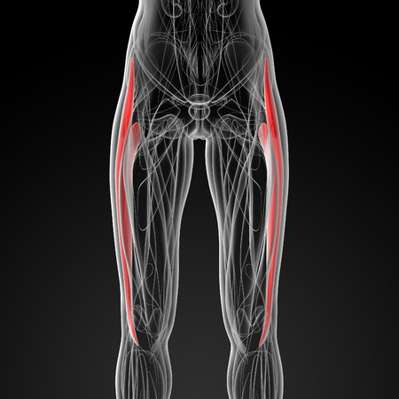 tensor: medical  illustration of the  tensor fascia lata