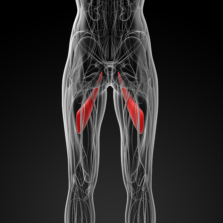 abductor: medical  illustration of the abductor longus