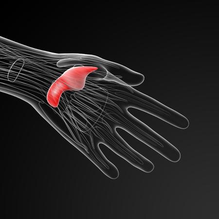 skelett mensch: medical  illustration of the adductor pollicis