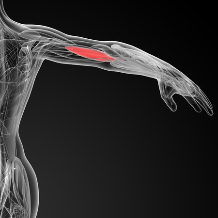 upper arm: medical  illustration of the Brachialis Stock Photo
