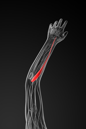 extensor: medical  illustration of the extensor carpi radialis longus