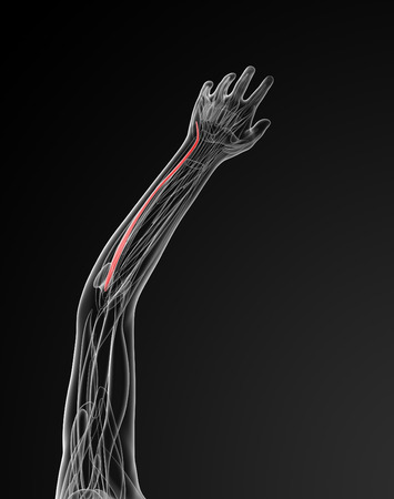 extensor: medical  illustration of the extensor carpi ulnaris