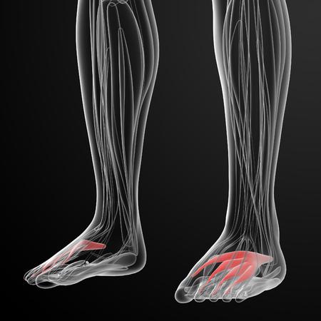 skelett mensch: medical  illustration of the extensor digitorum brevis