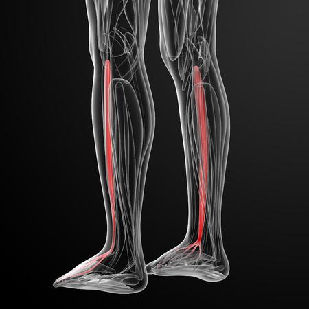 extensor: medical  illustration of the extensor digitorum longus