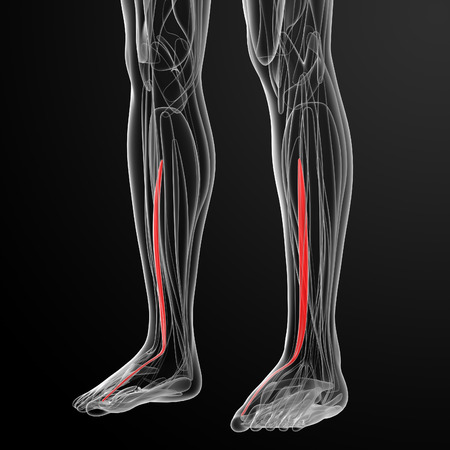 lower limb: medical  illustration of the extensor hallucis longus