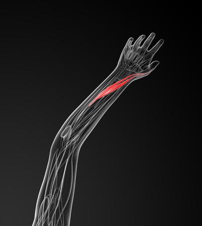 extensor: medical  illustration of the extensor pollicis longus