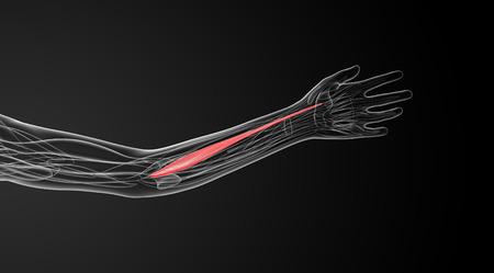flexor: medical  illustration of the flexor carpi radialis Stock Photo