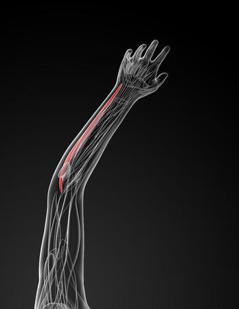 flexor: medical  illustration of the flexor carpi ulnaris Stock Photo