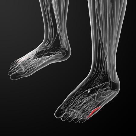 flexor: medical  illustration of the  flexor digiti minimi brevis Stock Photo