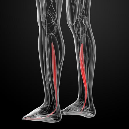 flexor: medical  illustration of the flexor digitorum longus