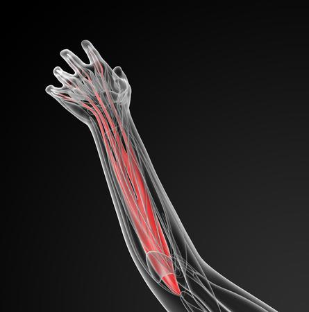 flexor: medical  illustration of the flexor digitorum superficialis