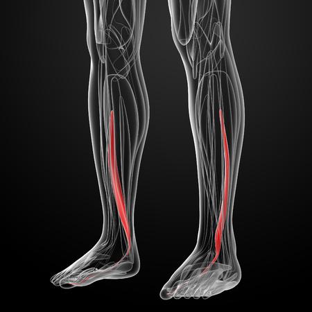 flexor: medical  illustration of the flexor hallucis longus Stock Photo