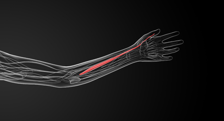 flexor: medical  illustration of the flexor pollicis longus