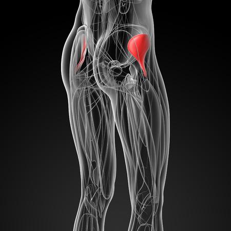 pelvic: medical  illustration of the gluteus minimus
