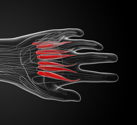 musculature: medical  illustration of the palmar interosseous Stock Photo