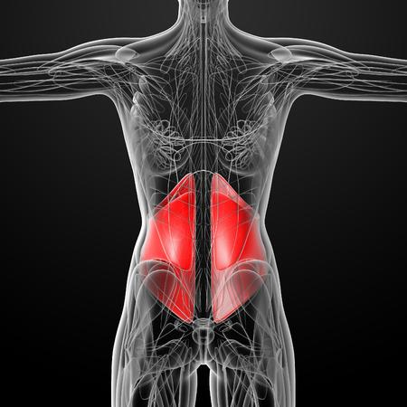 abdominis: medical  illustration of the Obliquus Internus Stock Photo