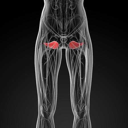pelvic: medical  illustration of the obturator externus Stock Photo