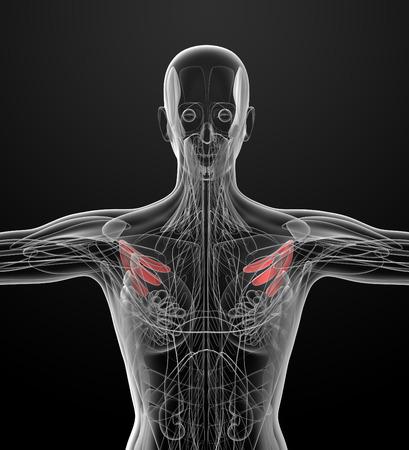 to minor: medical  illustration of the pectoralis minor Stock Photo