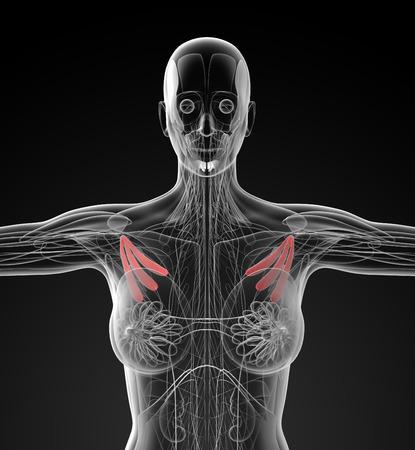 pectoralis: medical  illustration of the pectoralis minor Stock Photo