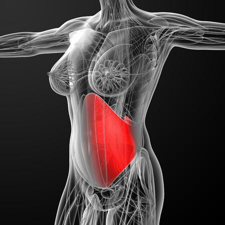 abdominis: medical  illustration of the transversus abdominis Stock Photo