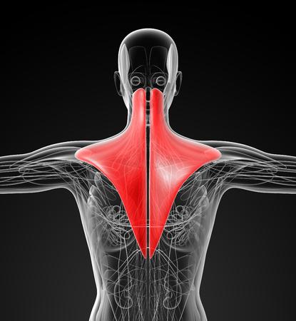 trapezius: medical  illustration of the trapezius