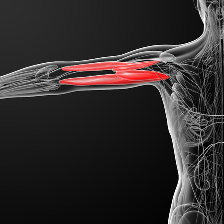 triceps: medical  illustration of the Triceps Brachii