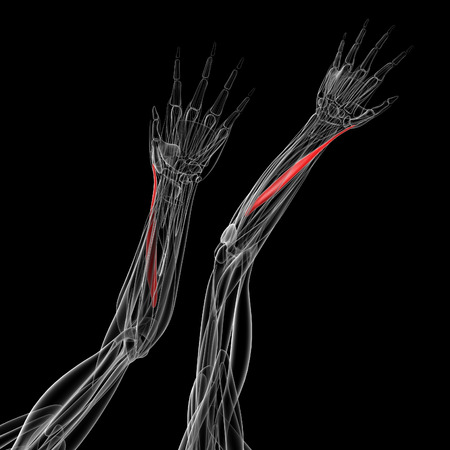 abductor: medical illustration of the abductor pollicis longus Stock Photo