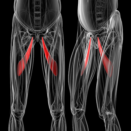 medical  illustration of the adductor longus