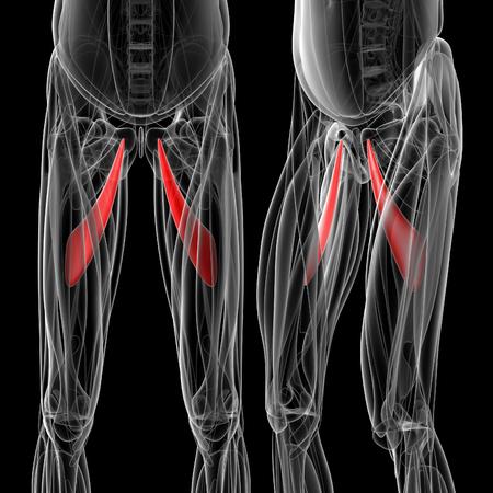 medische illustratie van de adductor longus