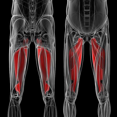 piernas hombre: medical  illustration of the adductor magnus