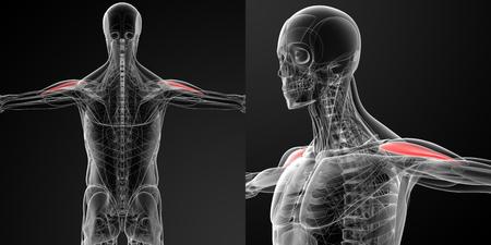 deltoid: medical illustration of the Anterior Deltoid Stock Photo