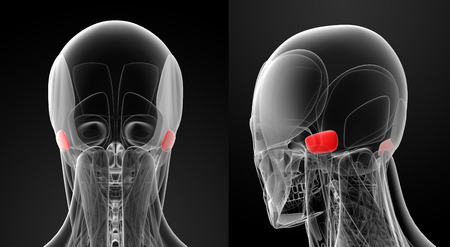 posterior: medical illustration of the auricularis posterior Stock Photo
