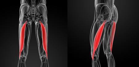 biceps: medical  illustration of the biceps femoris