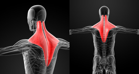 trapezius: medical illustration of the trapezius