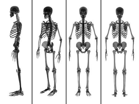 medical illustration: medical  illustration of the skeleton