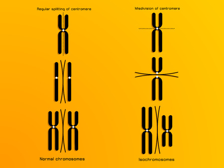 replication: vector illustration of the chromosome