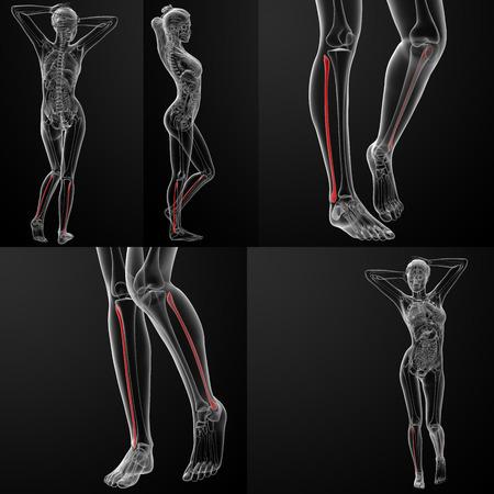tibia: 3D rendering illustration of the female fibular bone  Stock Photo