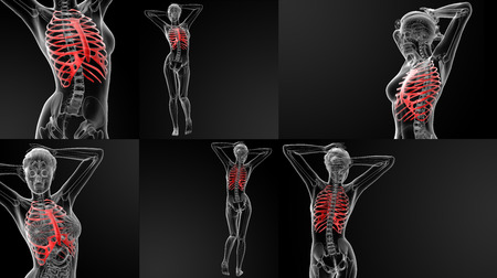 ribcage: 3D rendering illustration of the ribcage bone